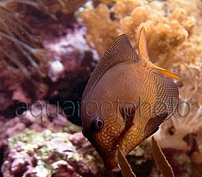 Ctenochaetus hawaiiensis 03