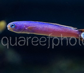 Hoplolatilus purpureus 02