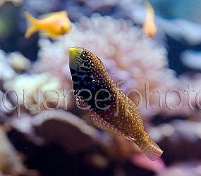 Macropharyngodon bipartitus 01