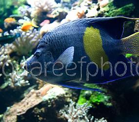 Pomacanthus maculosus 02