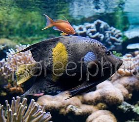 Pomacanthus maculosus 03