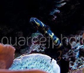 Pholidichthys leucotaenia 02