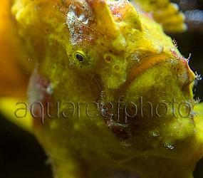 Antennarius pictus 08
