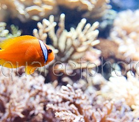 Amphiprion frenatus 02