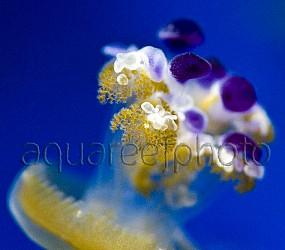Cotylorhiza tuberculata 02