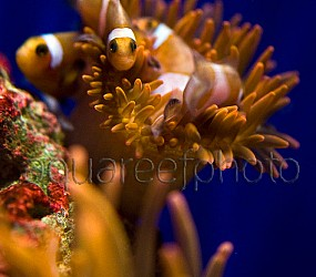 Amphiprion ocellaris batch 03