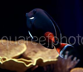 Acanthurus achilles 06