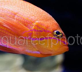 Pseudanthias bimaculatus 02