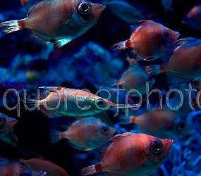 Macroramphosus scolopax 01