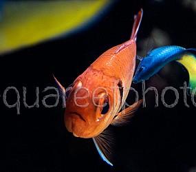 Myripristis murdjan & Labroides bicolor 2