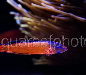 Pseudochromis aldabraensis 01