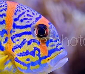 Symphorichthys spilurus 03