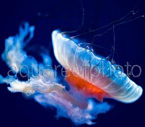 Chrysaora jellyfish 03