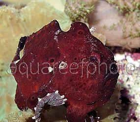 Antennarius pictus 10