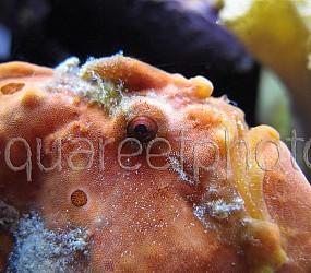 Antennarius pictus 21