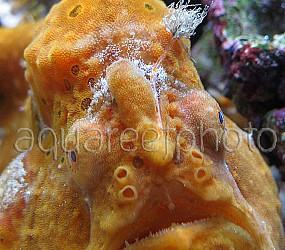Antennarius pictus 23