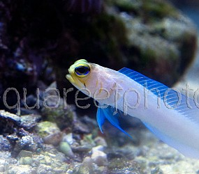 Opistognathus aurifrons 04