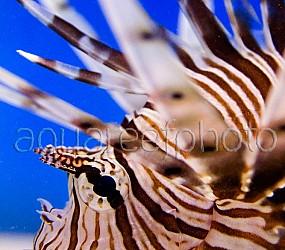 Pterois volitans 09