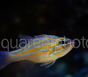 Apogon pallidofasciatus 01