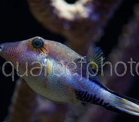 Canthigaster rostrata 01