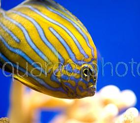 Chaetodontoplus septentrionalis 03