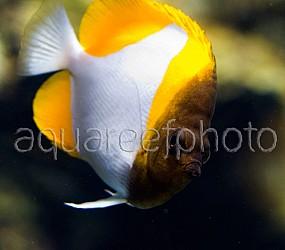 Hemitaurichthys polylepis 01