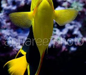 Holacanthus tricolor 01