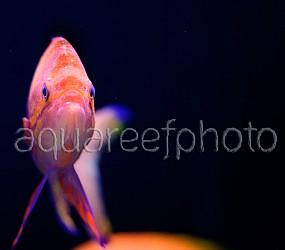 Pseudanthias pleurotaenia 01