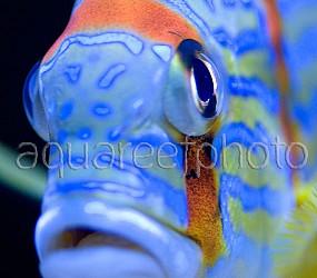 Symphorichthys spilurus 06