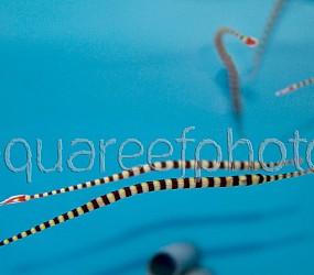 Doryrhamphus dactyliophorus 02