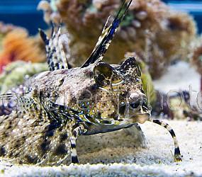 Dactylopus dactylopus 01