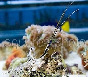 Dactylopus dactylopus 02