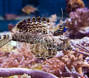 Dactylopus dactylopus 03