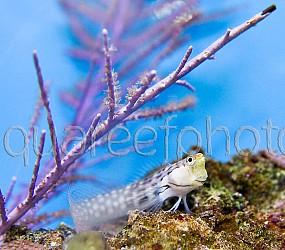 Ecsenius yaeyamaensis 01