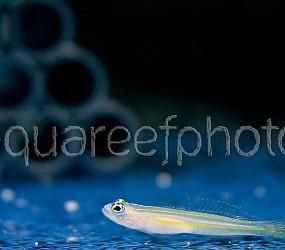 Gobiidae sp. 01