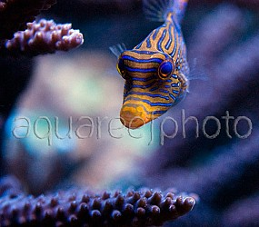 Canthigaster papua 02