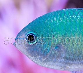 Chromis viridis 07