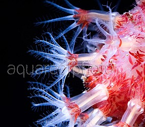 Alcyonium glomeratum 02