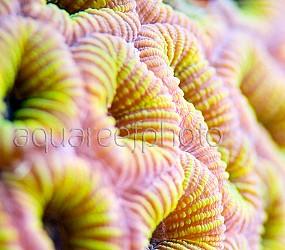 Faviidae jaune 01