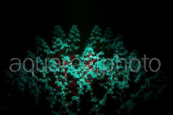 Acropora tenuis fluo 01