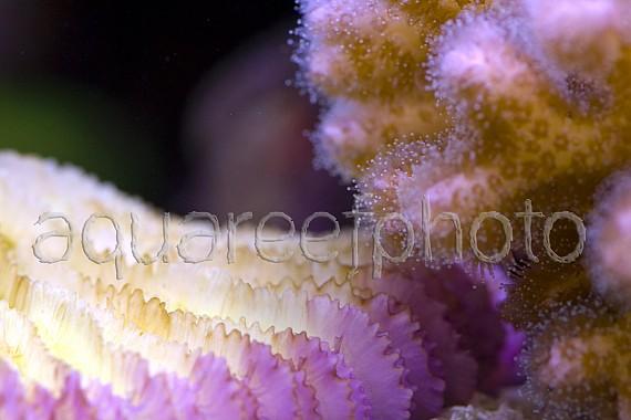 Pocillopora & Fungia