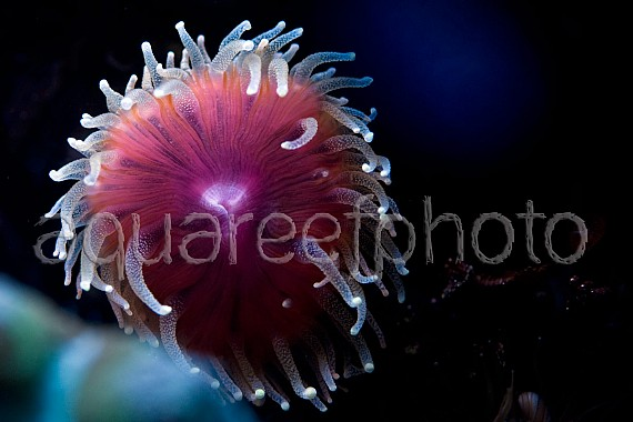 Rhizotrochus typus 01