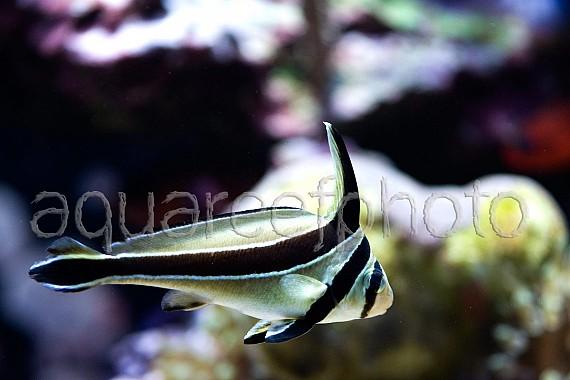 Equetus lanceolatus 01