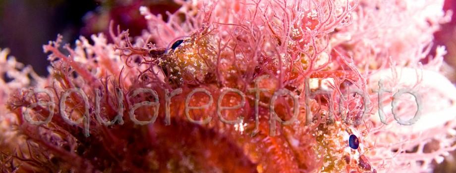 Antennarius striatus 01
