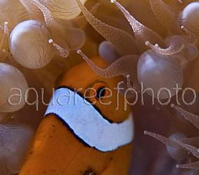 Amphiprion ocellaris 04