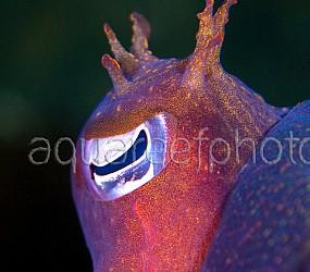 Cuttlefish Sepia apama