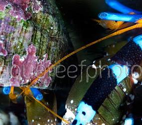 Calcinus elegans 02