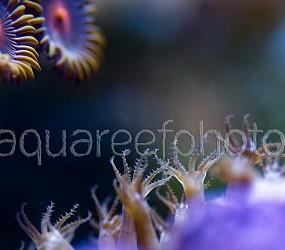 Eunicea polyps