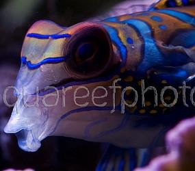 Synchiropus splendidus 14