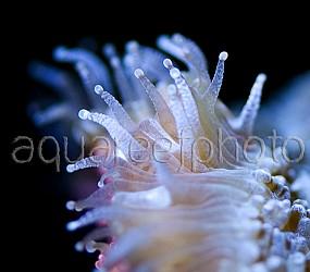 Lobophyllia hemprichii 01